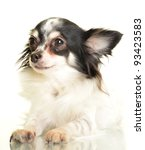 chihuahua on the white... | Shutterstock . vector #93423583