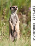 meerkat standing upright and... | Shutterstock . vector #93441859