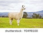 South American White Llama