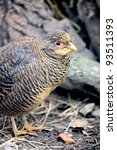 Wild francolin in the forest - stock photo