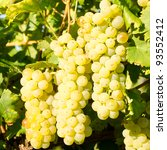 White Grapes In Vineyard