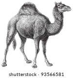 Dromedary  Camelus Dromedarius...