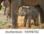 Asian Baby Elephant With Mothe...