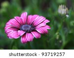Close Up Of African Daisy...