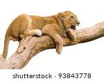 Lion Cub Sitting On A Branch ...