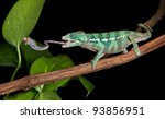 A Panther Chameleon Baby Is...