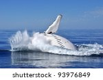 whale breach off coast of... | Shutterstock . vector #93976849