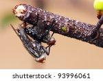 Breed Fly
