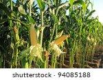 Corn Field  Corn On The Cob