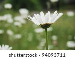 Bright white ox eye daisy on a pasture in the Carpathian Mountains, eastern Europe. - stock photo