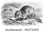 eurasian beaver  castor fiber   ...   Shutterstock .eps vector #94171555