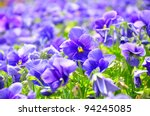 Viola Flower Field