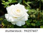 Stock photo beautiful white roses on tree 94257607