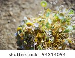 Small photo of Algae acetabularia mediterranea on the rock against sea