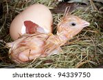 Newly born chick lying beside its brown egg - stock photo