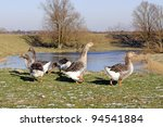 geese walking on grass - stock photo