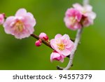 Pink Plum Blossom  Known As...