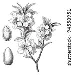 Almond (Prunus dulcis) / vintage illustration from Meyers Konversations-Lexikon 1897