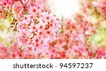 flower  thai sakura  cherry...   Shutterstock . vector #94597237