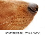 Isolated Dog\'s Nose Close Up