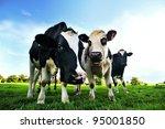 Cows in a green field in...