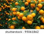 Fresh Orange On Plant  Orange...