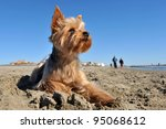 Stock photo portrait of a purebred yorkshire terrier on the beach walkers in the background 95068612