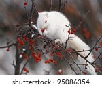 White Squirrel In Tree  Eating...