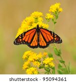 Monarch Butterfly On Goldenrod...