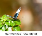 Colorful Sapho butterfly - stock photo