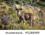 A Full Length View Of A Kudu ...