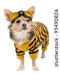 Chihuahua Puppy Dressed With...