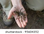 Golden Brown Baboon Spider (Augacephalus breyeri) held in a hand to show size. Endemic species to South Africa - stock photo