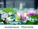 Lotus Flower Blooming In A Pond.