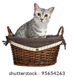 Stock photo a cute egyptian mau breed cat sitting in a brown wicker basket she is looking directly at the 95654263