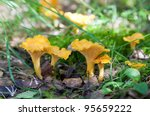 Chanterelle In The Grass