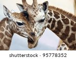 A Young And An Adult Giraffes