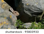 European Wild Rabbit Hiding...