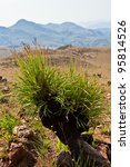 plant in a dry mountain... | Shutterstock . vector #95814526