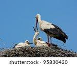 White Stork Feeding Chicks
