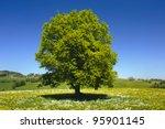 Single Beech Tree At Springtime