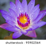 Purple Lotus Flower Blooming A...