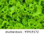 fresh green lettuce | Shutterstock . vector #95919172