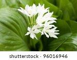 Small photo of alocasia cucullata, white flower