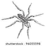 Tarantula Wolf Spider  Lycosa...