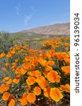 California Golden Poppies...