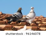 Two Grey Pigeon Sitting On The...