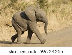 Stock photo young african elephant loxodonta africana running in kruger park south africa 96224255