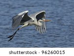 Grey Heron (Ardea cinerea) in flight, Kruger Park, South Africa - stock photo