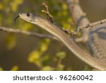 Black Mamba snake (Dendroaspis polylepis) - stock photo